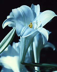 http://images.onlc.eu/lysdesvalleesNDD//123922995292.jpg