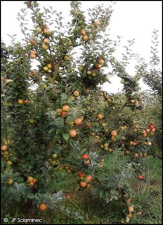 Pommes et Jus de pommes bio - JP Sclaminec