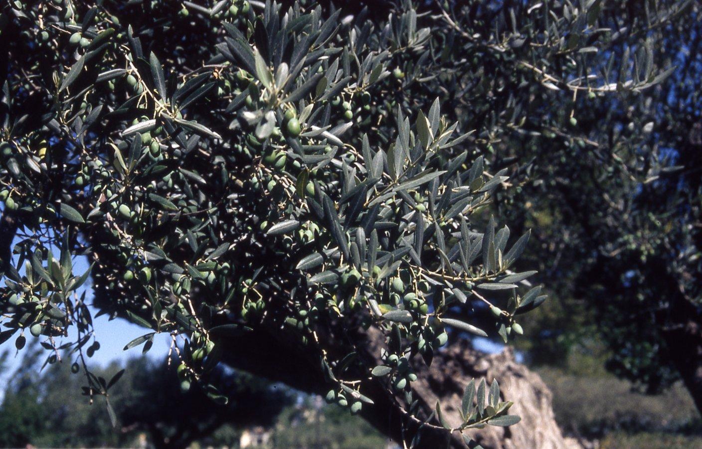 L 39 espace vert 05 arbres arbustes famille genre for Faux olivier arbre